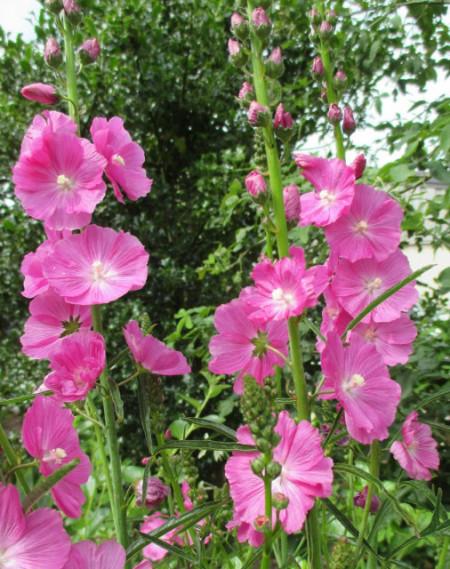Sidalcea Malviflora Rosanna