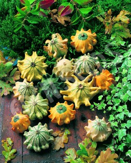 Tartacute Shenot Crown of Thorns