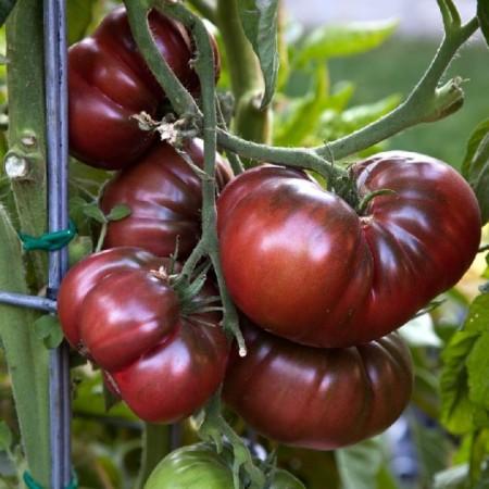 Tomate Brandywine Black