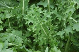 Poze  Varza Kale Russian White