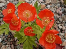 Mac Meconopsis Cambrica Frances Perry