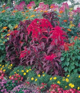 Poze Amaranthus tricolor Early Splendor
