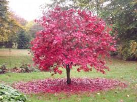 Poze Artar japonez-Acer palmatum atropurpurea