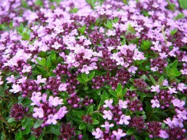 Poze Cimbrisorul-Thymus pulegioides Foxley