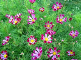 Poze Cosmos Pied Piper Red