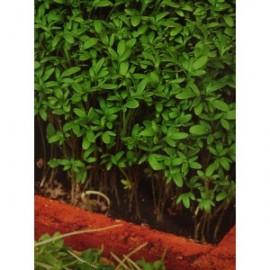 Cresonul (Lepidium sativum)