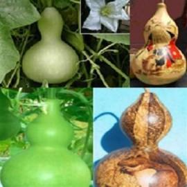 Poze Dovleac decorativ Bottle Gourd