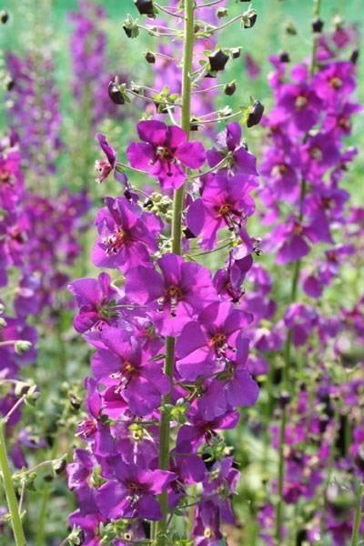 Poze Lumanarica-Verbascum Phoeniceum Purple