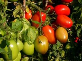 Poze Tomate Rio Grande