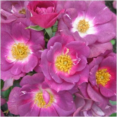 Poze Trandafir Bluesy