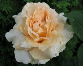 Trandafir Casanova