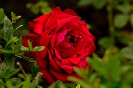 Poze Trandafir Dame de Coeur