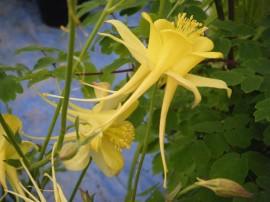 Poze Caldarusa-Aquilegia Chrysantha Yellow Queen