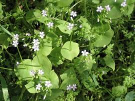 Poze Salata minerului-Claytonia Perfoliata