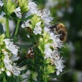 Isop alb-Hyssopus officinalis