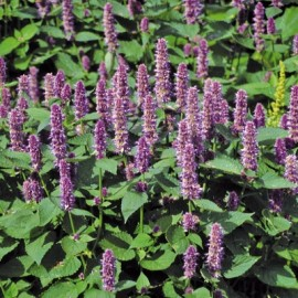 Poze Korean mint-Agastache rugosa purple