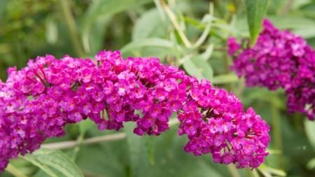 Liliac de vara-Buddleja Davidii Royal Red