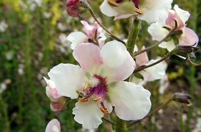 Poze Lumanarica-Verbascum blattaria Albiflorum