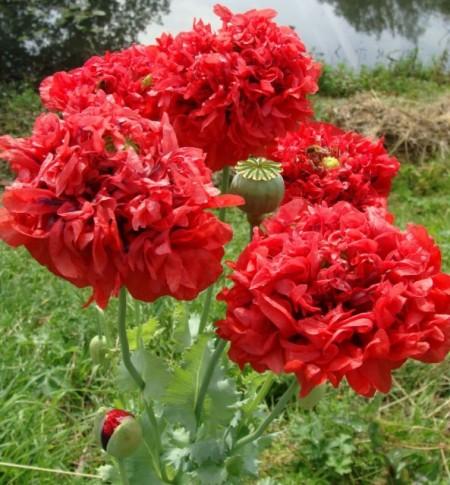 Poze Mac Somniferum Scarlet Peony