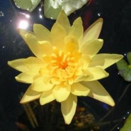 Poze Nufăr Yellow-Nymphaea Eldorado
