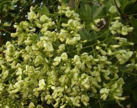 Poze Salcam japonez-Sophora japonica