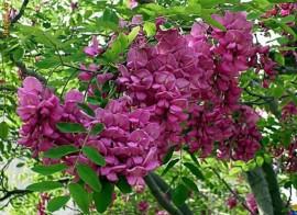 Poze Salcam roz-Robinia Hispida