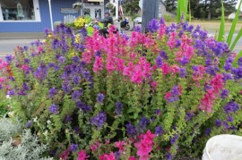 Poze Salvia viridis mix