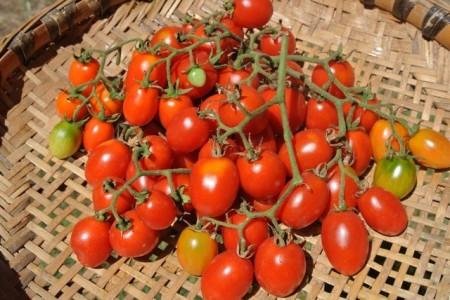Tomate cherry Grapoli d'Inverno