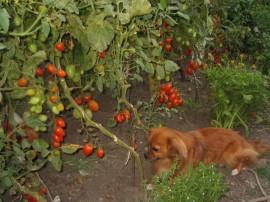 Tomate cherry prunisoara Milla