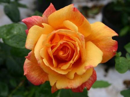 Trandafir Sutter Gold