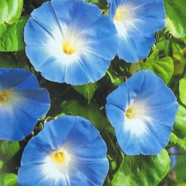Poze Zorele-Ipomoea Heavenly Blue