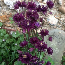 Caldarusa-Aquilegia vulgaris Black Barlow