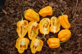 Poze Ardei iute Scotch Bonnet Trinidad Yellow