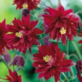 Poze Caldarusa-Aquilegia vulgaris Double Rubies