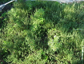 Poze Cimbrisor-Thymus serpyllum