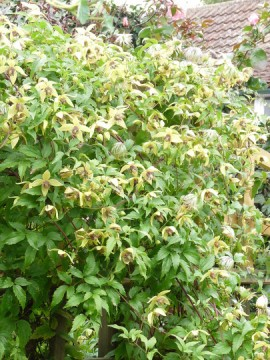 Poze Clematis Korean Beauty