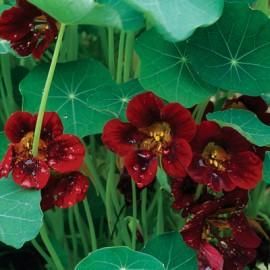 Poze Condurasi Black Velvet