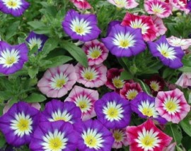 Poze Convolvulus tricolor mix