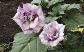 Datura metel Double Purple