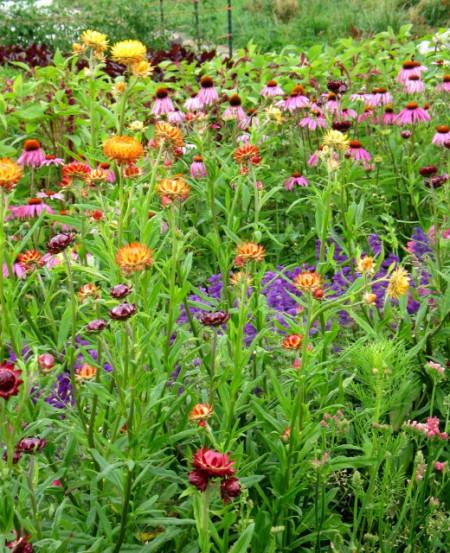 Flori de pai-Helichrysum bracteatum mix
