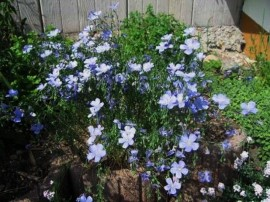 Poze Linum-In decorativ blue