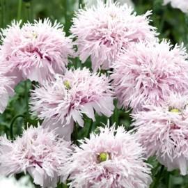 Mac Somniferum Lilac Pompom