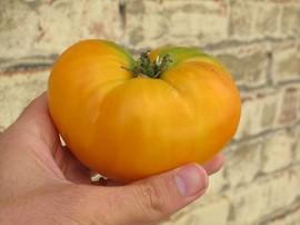 Tomate Yellow Grappa Gialla