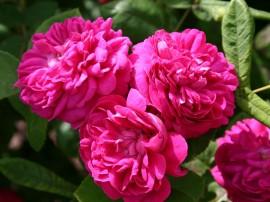 Poze Trandafir de dulceata Rose de Rescht