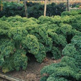 Varza Kale