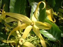 Poze Ylang Ylang-Cananga odorata