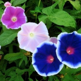 Poze Zorele-Ipomoea Nil Early Call Mix