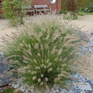 Iarba decorativa-Pennisetum alopecuroides hameln