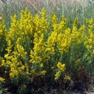 Sanziene galbene-Galium verum
