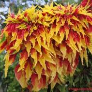 Amaranthus tricolor Splendens